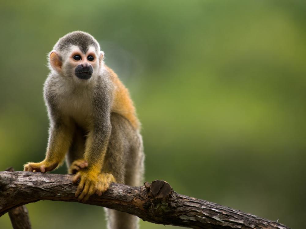 Sonhar com macaco pequeno