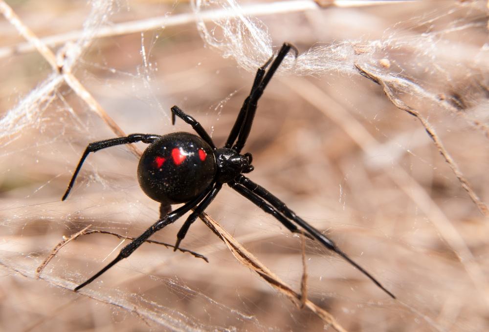 sonhar com aranha preta