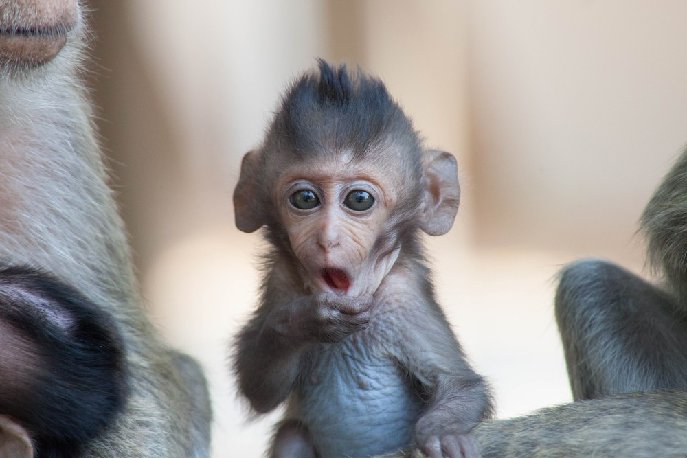 Sonhar com filhote de macaco