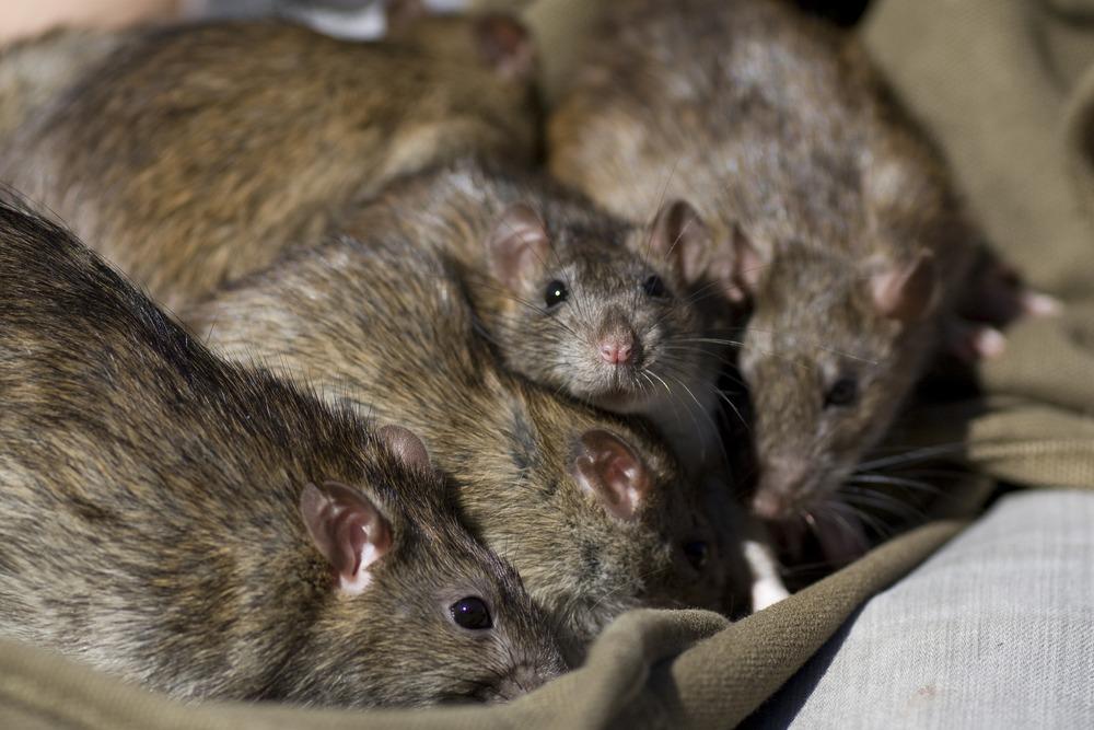 o que significa sonhar com rato