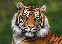 Sonhar com tigre