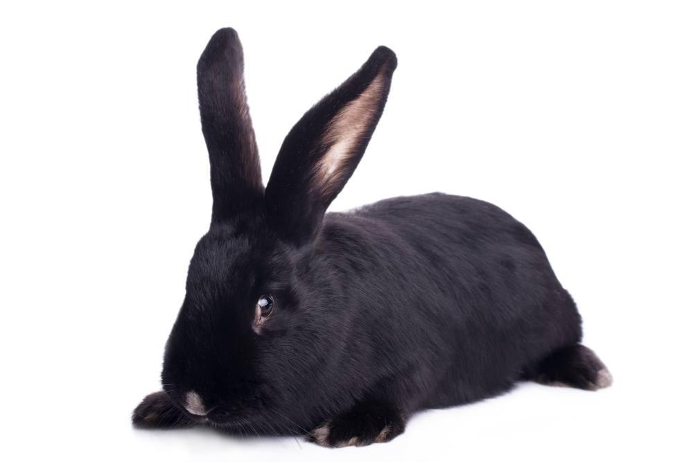 sonhar com coelho preto