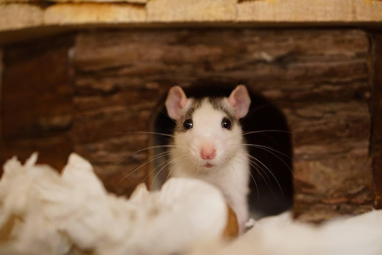 sonhar com ninho de rato