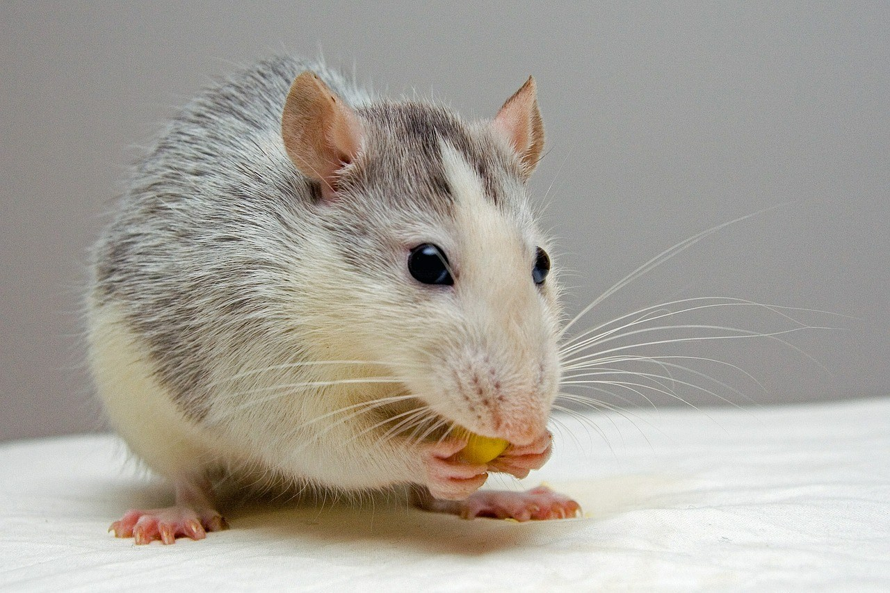 sonhar com rato mordendo