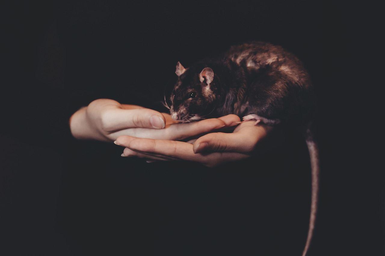 sonhar com rato preto