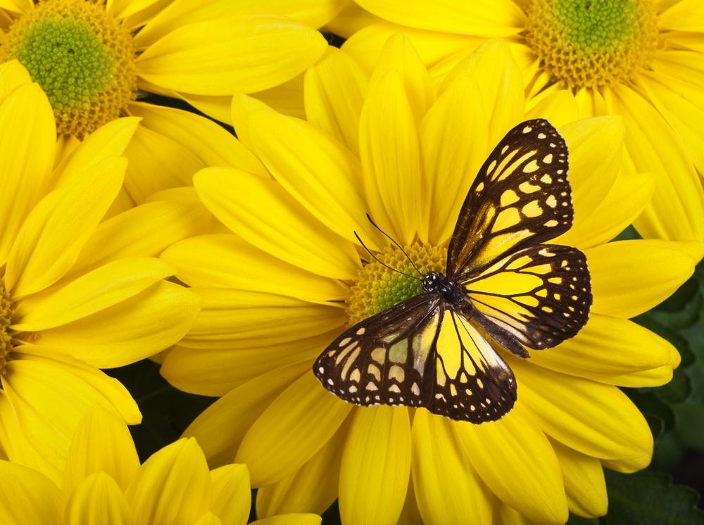 sonhar com borboleta amarela