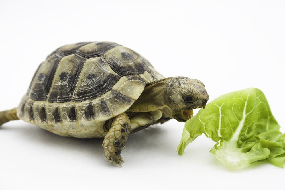 tartaruga comendo