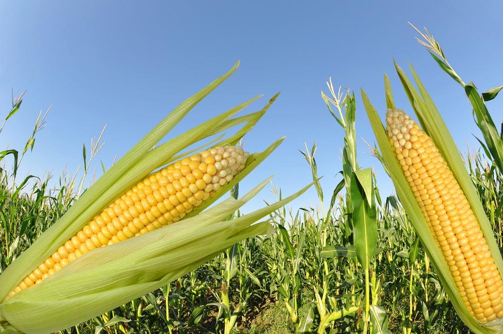 sonhar com plantação de milho
