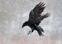 corvo símbolo
