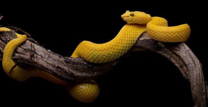 sonhar com cobra amarela