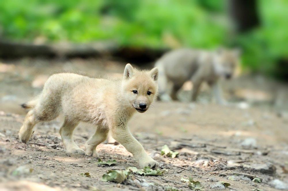 sonhar com filhote de lobo