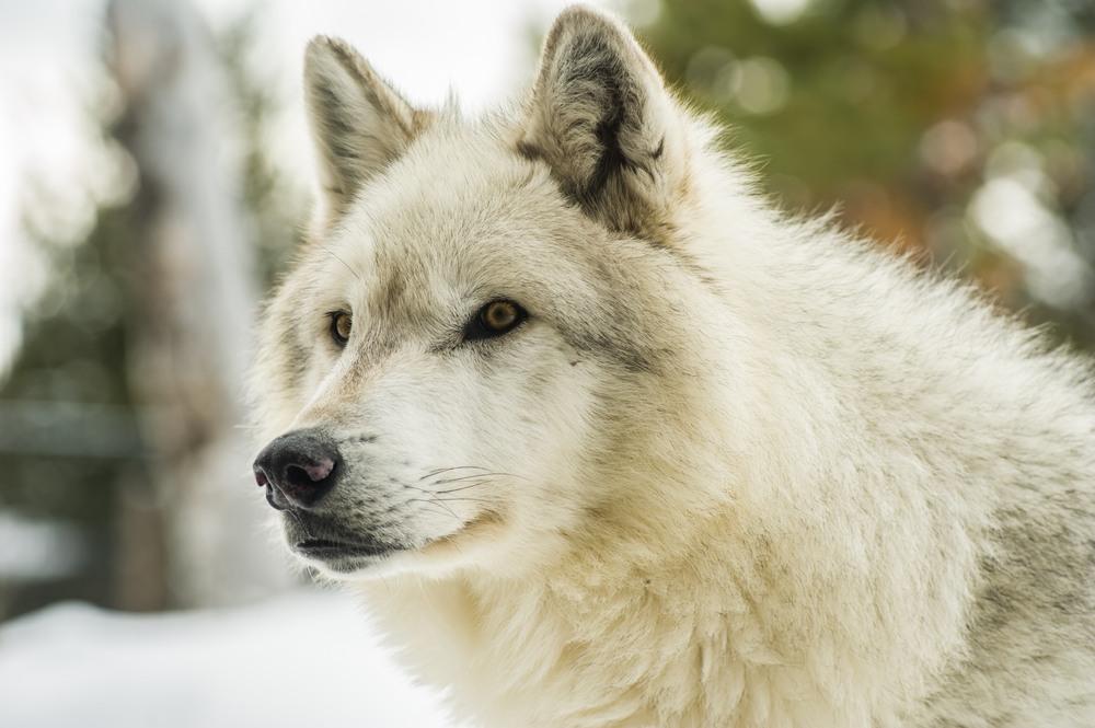 sonhar com lobo