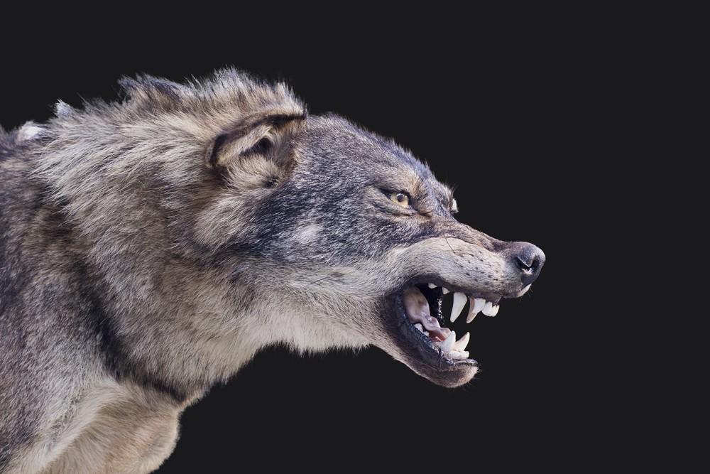 sonhar com lobo rosnando