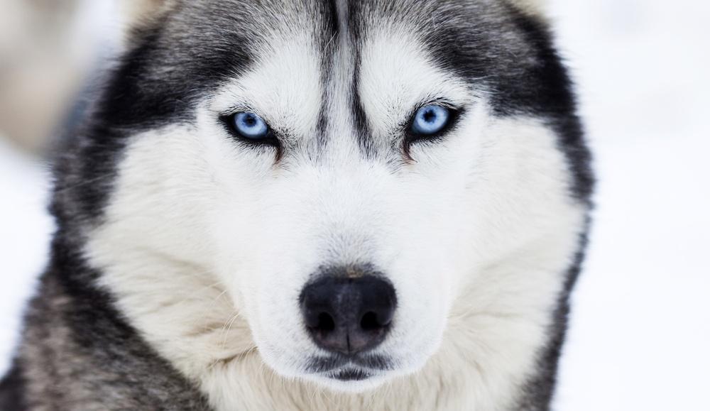 sonhar com lobo encarando