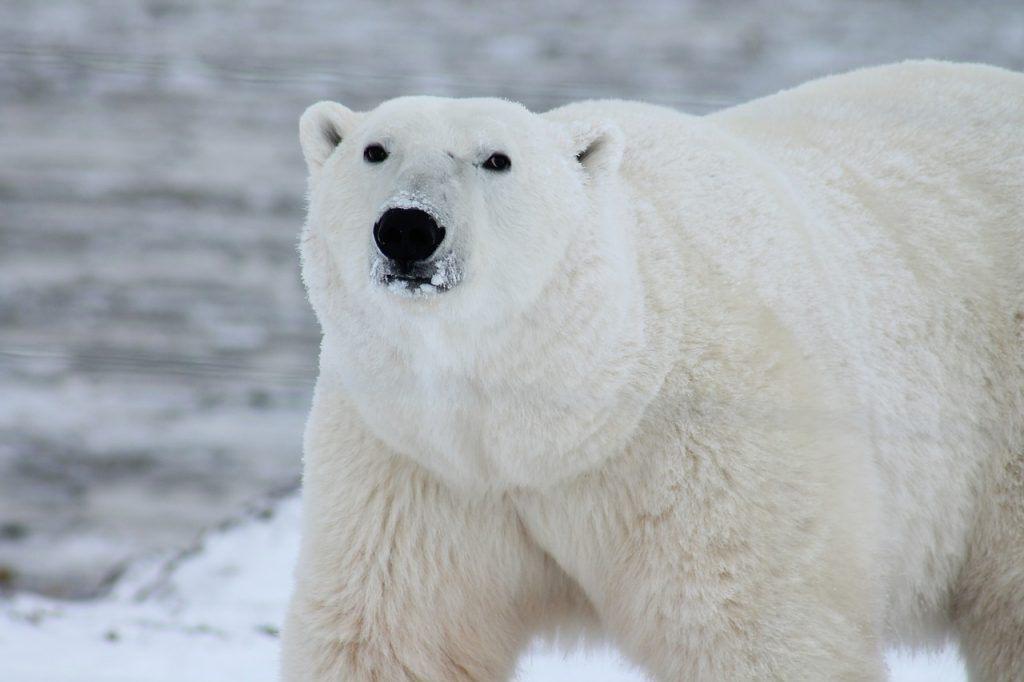 sonhar com urso polar