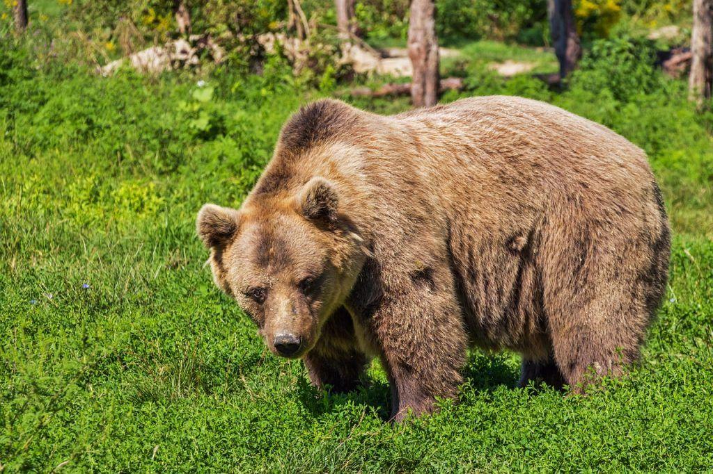 sonhar que vê um urso