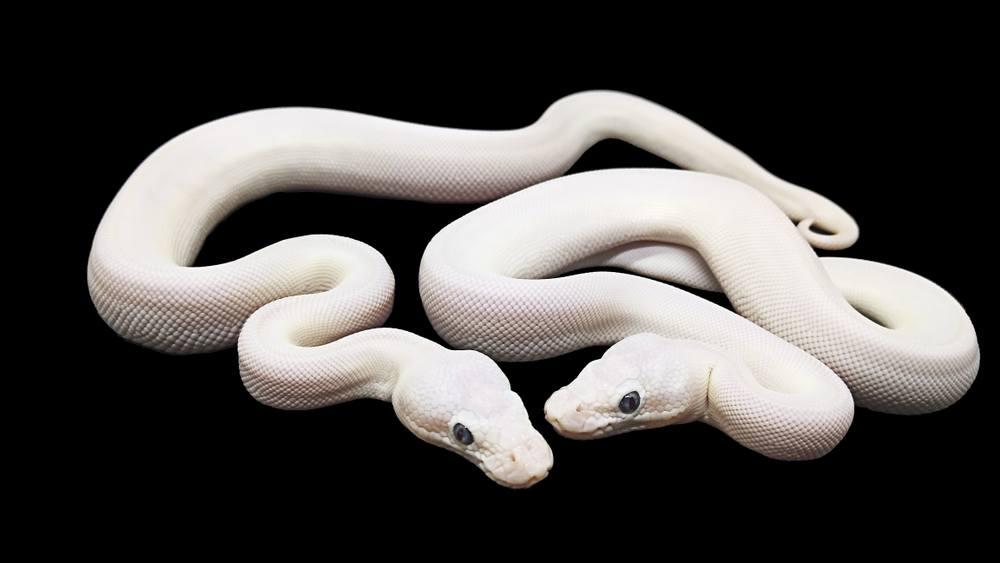 sonhar com duas cobras brancas