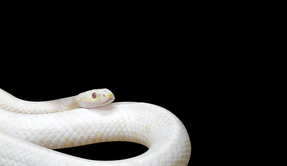 sonhar que vê uma cobra branca