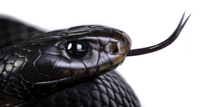 sonhar com cobra preta