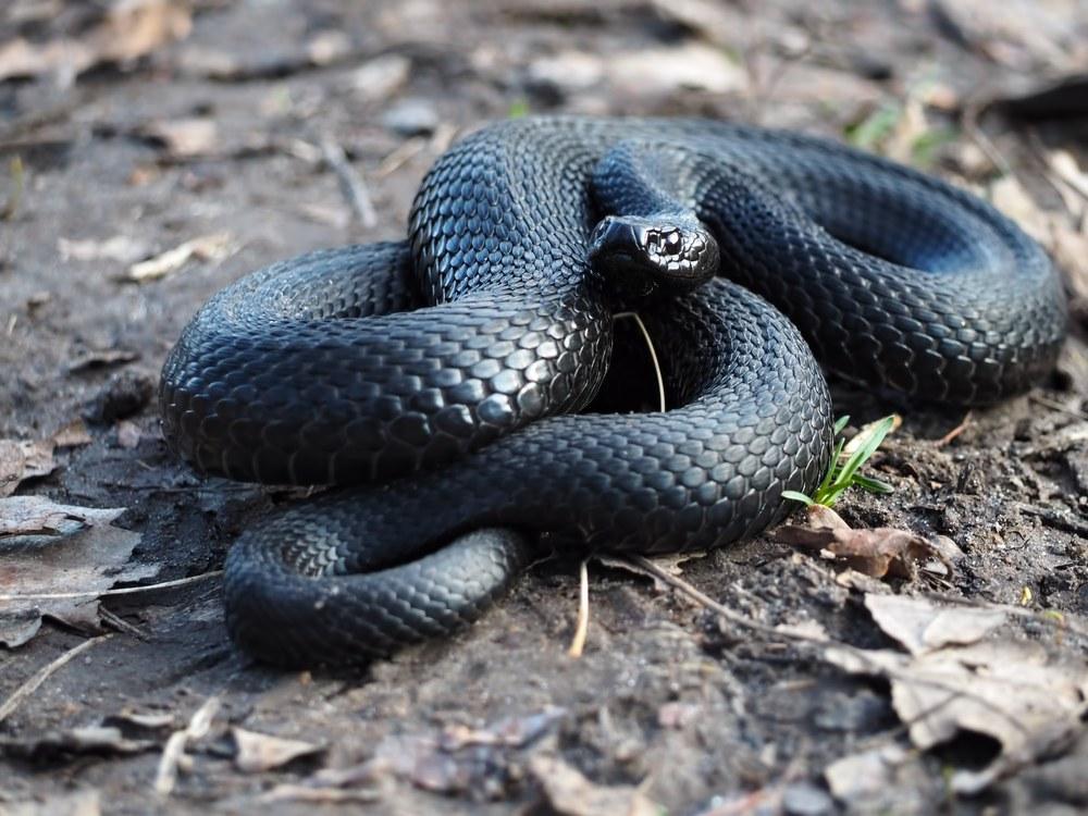 sonhar que vê uma cobra preta
