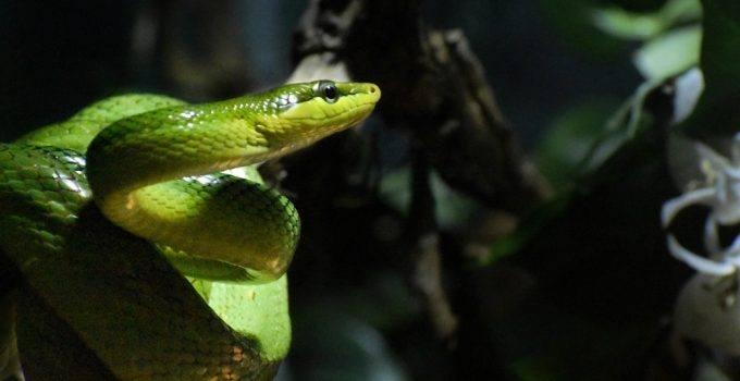 sonhar que vê uma cobra verde