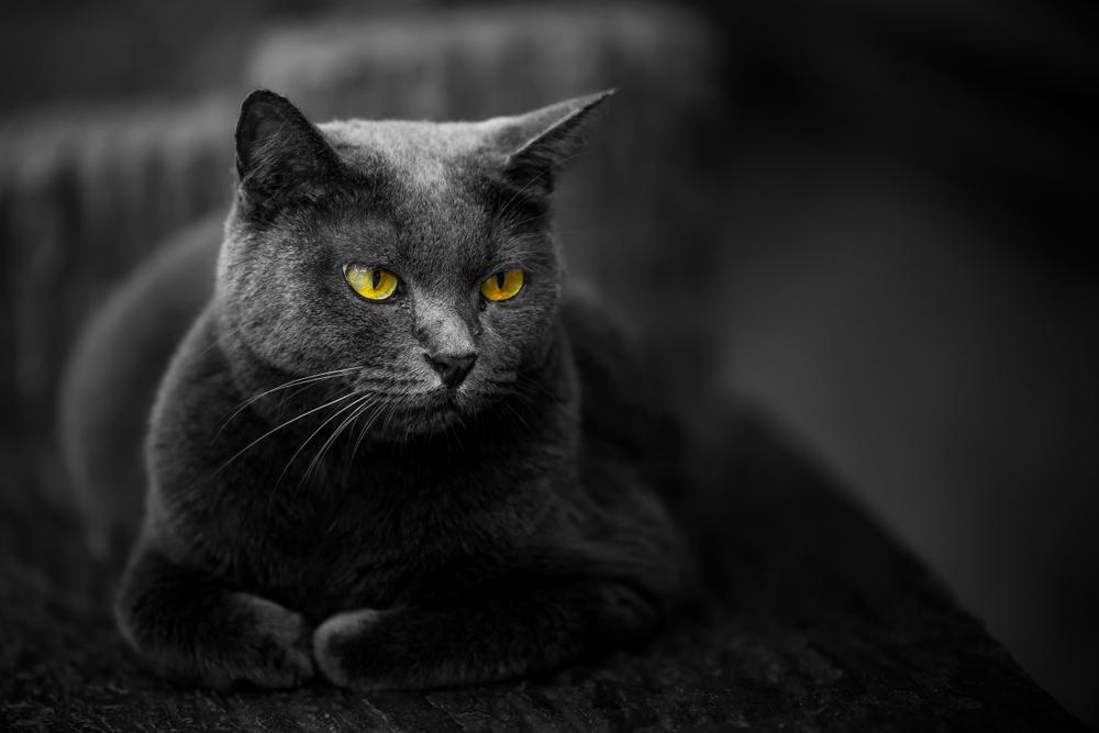 sonhar com gato preto andando