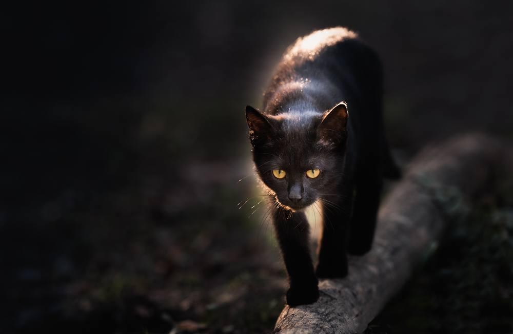 sonhar que vê um gato preto