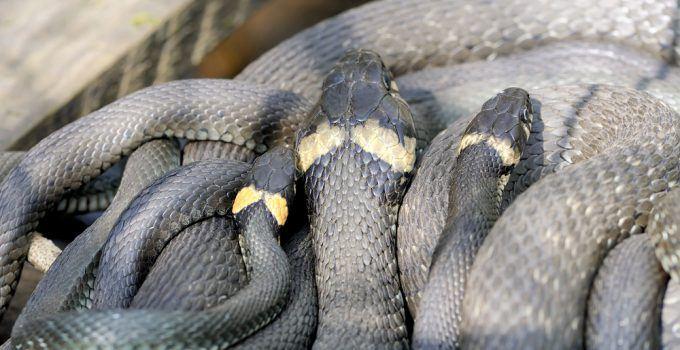 sonhar com muitas cobras