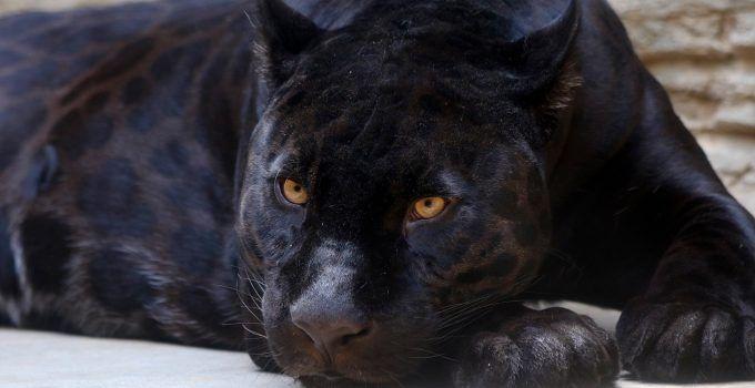 sonhar com onça preta