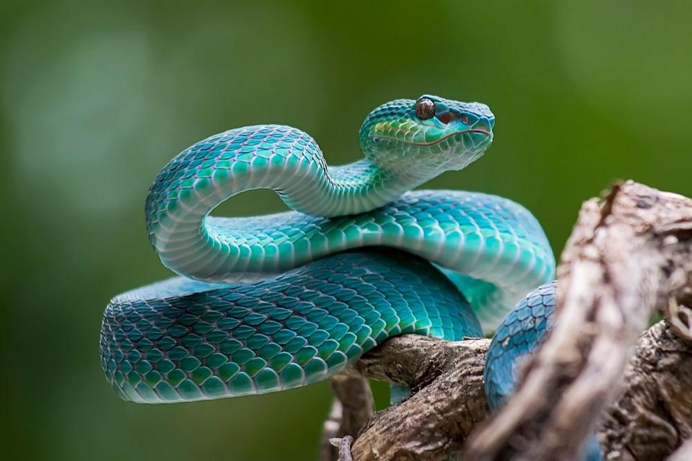 sonhar com cobra azul
