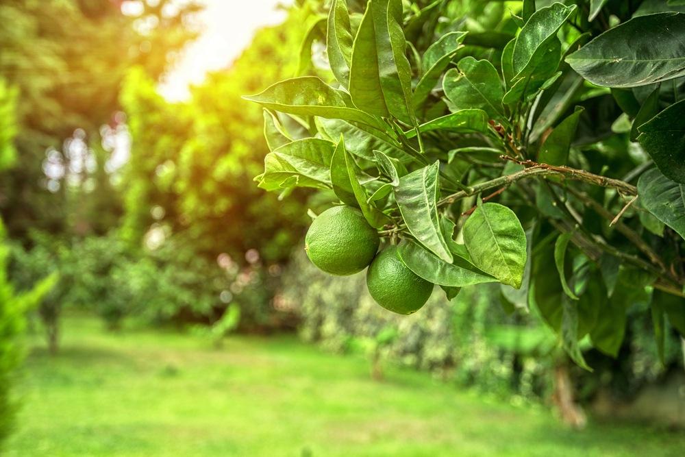 sonhar que planta limão
