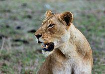 sonhar com leoa