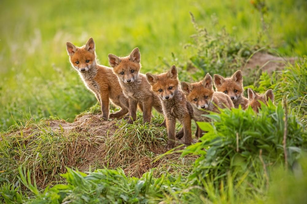 sonhar com filhote de raposa