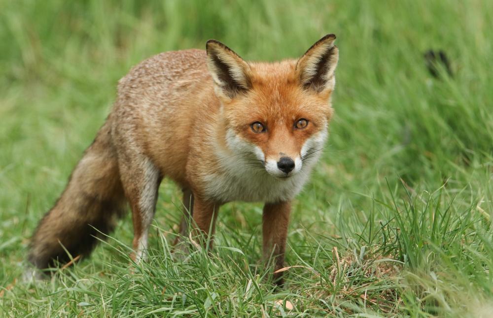 sonhar que vê uma raposa