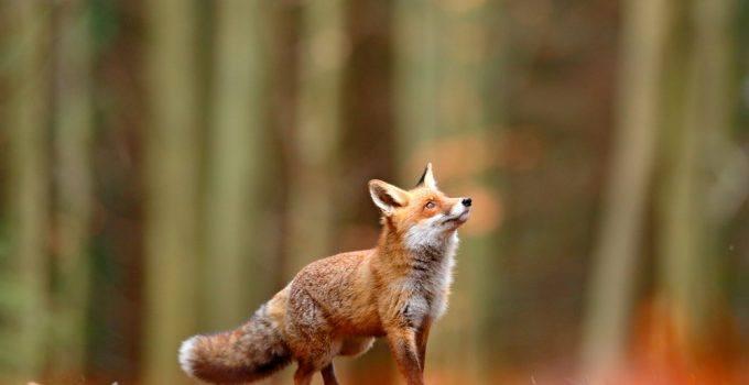 sonhar com raposa