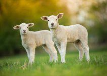 O que significa sonhar com carneiro?