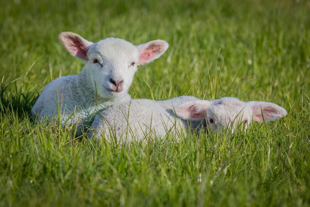 Sonhar com carneiro branco