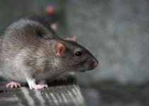O que significa sonhar com rato cinza?