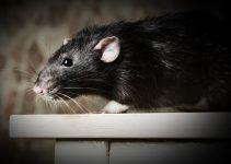 O que significa sonhar com rato preto?