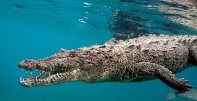 O que significa sonhar com crocodilo?