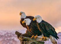 O que significa sonhar com águia?