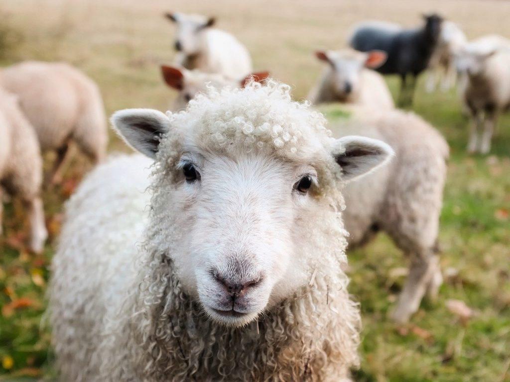 O que significa sonhar com ovelha?