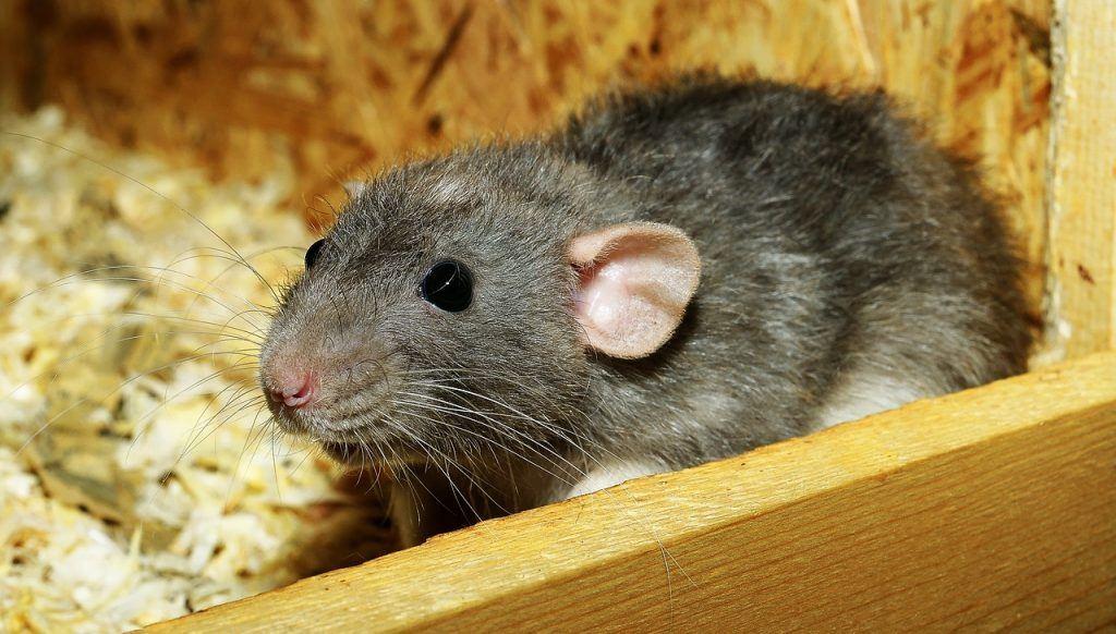 O que significa sonhar com ratazana?