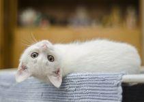 O que significa sonhar com gato branco?