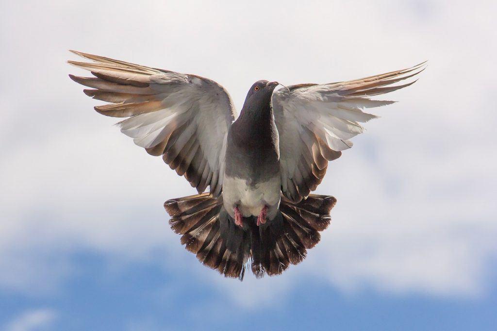O que significa sonhar com pombo?
