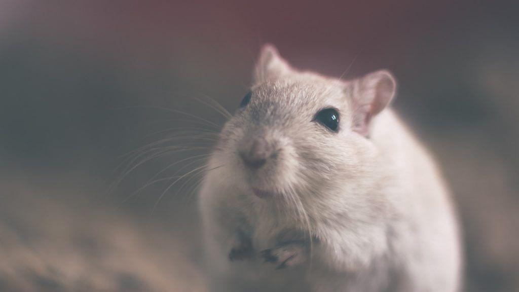O que significa sonhar com rato branco?