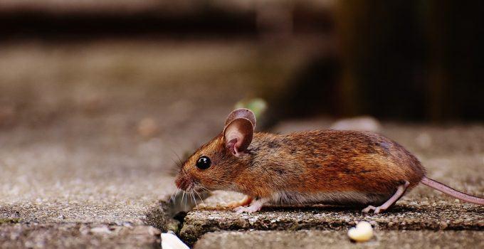 O que significa sonhar com rato correndo?