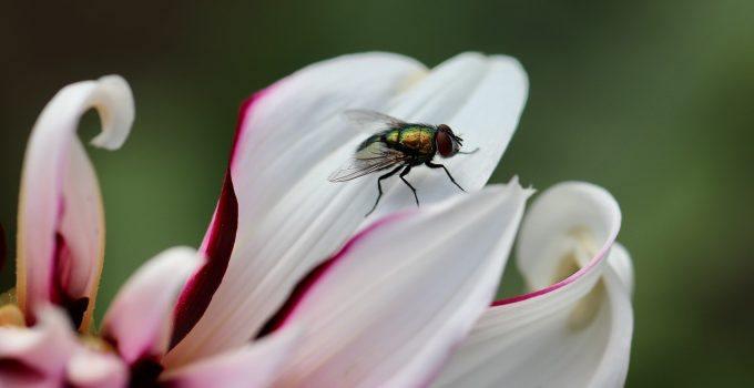 O que significa sonhar com mosca?