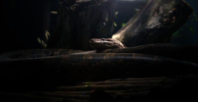 O que significa sonhar com cobra gigante?