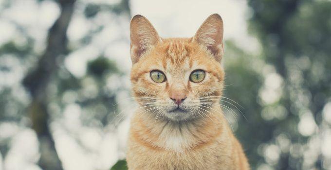 O que significa sonhar com gato amarelo?